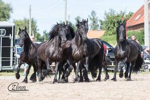 freilaufende Pferde, Reitplatz, Friesenfest