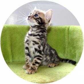 Vente de chatons Bengal - Elevage Tribal Bengal