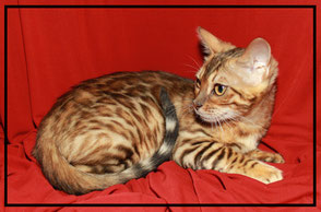 Vente de chats de race Bengal - Elevage Tribal Bengal - Type Sauvage