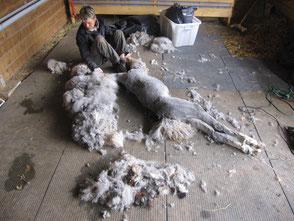 Hermione a la fin de la tonte, sa toison sera récupérer afin de produire de la laine