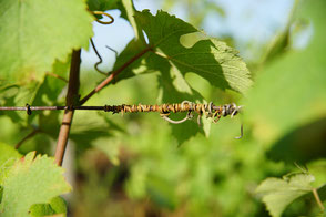 VinoLoire - Vincent Delaby - Excursions privilégiées dans les domaines vignobles du Val de Loire - Visites Vignes, Vélo et Patrimoine