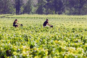 VinoLoire - Vincent Delaby - Excursions privilégiées dans les domaines vignobles du Val de Loire - Evénements dans les vignes de Touraine