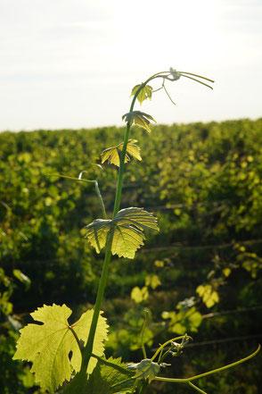 VinoLoire - Vincent Delaby - Excursions privilégiées dans les domaines vignobles du Val de Loire - Visites guidées AOC Chinon