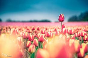 Et oui, il existe des champs de tulipe en Provence !