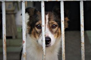 La tête d'un chien blanc et marron derrière des barreaux par coach canin 16 educateur canin en charente