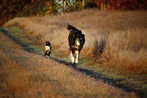 Un chat de race thaï beige et marron marche sur un chemin à côté d'un grand chien marron et blanc par coach canin 16 éducateur canin en charente