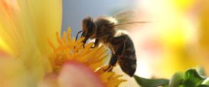 Artensterben Biene dramatisch Problem