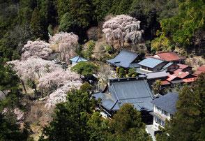 桜の寺(山梨、身延山) (A3ノビ)