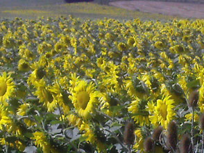 champs de tournesol dans les Pyrénées