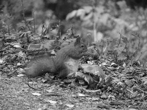 Eichhörnchen Finnland