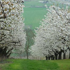 Cerisiers blancs du Pays de L'Arbresle