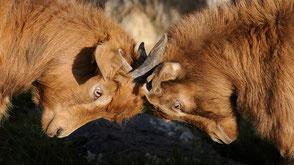 Zwei Ziegen kämpfen
