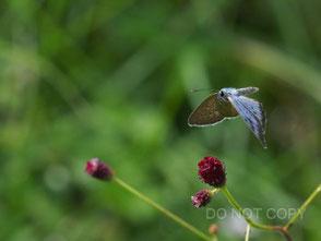 ワレモコウの花に近づくゴマシジミ 大河内 勇