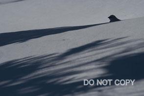 厳冬期におけるライチョウの美術的描写の              考察 高橋広平
