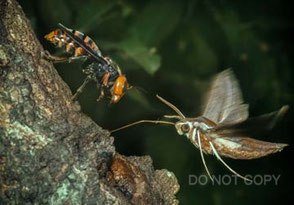 オオスズメバチとコスズメ 栗林 慧