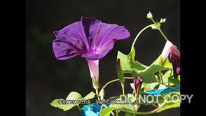 アサガオの開花と色変化 石黒久美