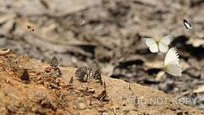 カメルーンの蝶たち 高橋直暉