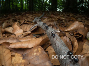 林床のアリの行列 高嶋清明