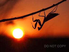 晩秋の落日とハラビロカマキリ 尾園 暁