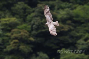 谷間を飛ぶ白いトビ 山尾ヒロユキ