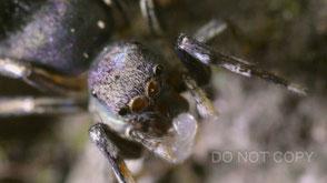 アオオビハエトリがアミメアリから幼虫を盗む 腰髙直樹