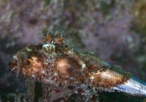 スナダコの捕食 海谷美里