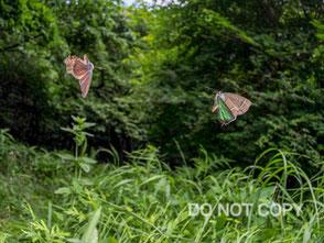メスアカミドリシジミの卍飛翔 伏島 済