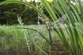 湿地で羽化したクロスジギンヤンマ  河野宏和