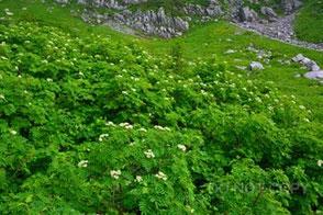 圏谷が似合う花ナナカマド 西納久之