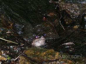 光る眼で雌を待つオットンガエル 大河内 勇