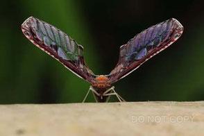 美しい翅のアヤヘリハネナガウンカ 河野宏和