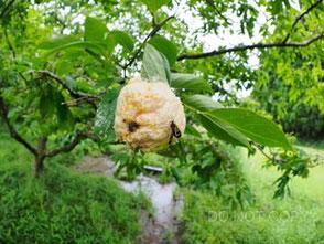 モリアオガエルの卵塊に集まるヤマトシリアゲとハエの仲間 常川大樹