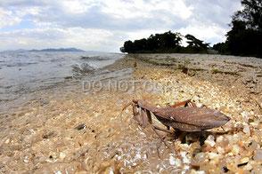 入水するハラビロカマキリ 常川 真