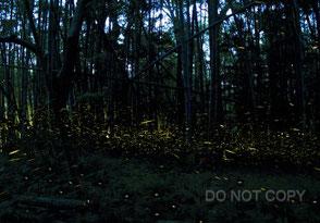 竹林のヒメボタル 栗林 慧