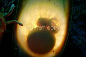 ナヌカザメの卵 小林安雅