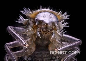 ナミテントウ幼虫 原 有正