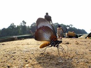 怪蝶ザルモクシスオオアゲハのおしっこ 海野和男