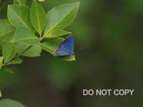 オガサワラシジミ:国内最絶滅危惧蝶                   大林隆司