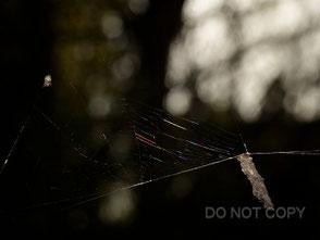クモの網を食べる蓑虫(ミノガの一種) 腰髙直樹