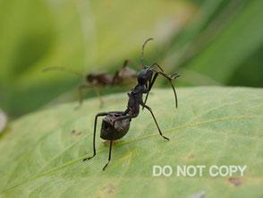 ホソヘリカメムシの幼虫 今野陽喜