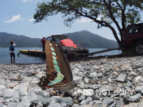 琵琶湖岸で吸水するアオスジアゲハ                    田中 碧