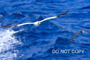紺碧の海を飛ぶアオツラカツオドリ                  小島征彦