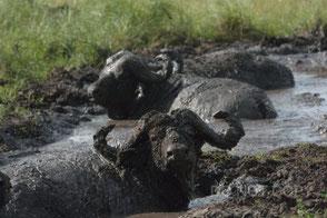 泥浴びするアフリカバッファロー 岸本登巳子