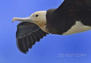 飛翔するオオグンカンドリ 小島征彦