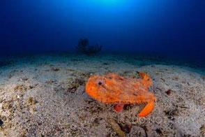 深海魚アカグツ 清家寛子