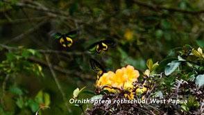 トリバネアゲハ6種の飛翔(西パプア、ソロモン諸島) 海野和男
