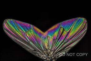 ハエの翅脈の干渉色 坂本昇久