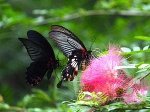ナガサキアゲハ有尾型雌 湊 和雄
