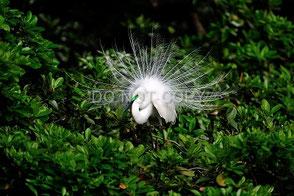 繁殖期の亜種チュウダイサギ 湯浅芳彦