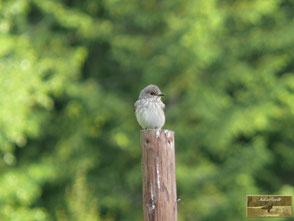Grauschnäpper, Singvögel, MenschundNatur